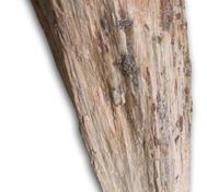 Förstenat trä med Muskovit opolerat